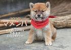 Korokoro Mameshiba 2021 Calendar (Japan Version)